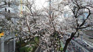 ルフロン公園の桜|川崎駅の南側の陸橋から
