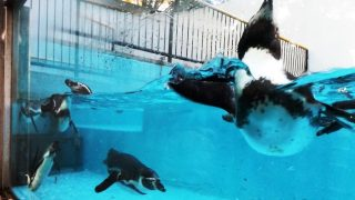 ペンギン|夢見ヶ崎動物公園