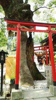 ご神木 新田神社