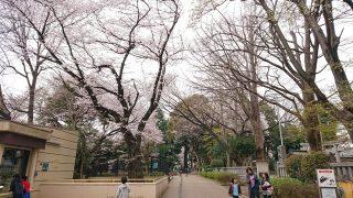 夢見ヶ崎動物公園の桜1(2019年3月30日)