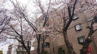桜(古市場)その1