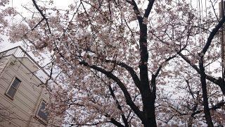 桜(古市場)その2