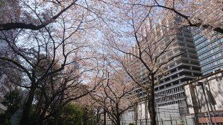 桜(ルフロン公園)