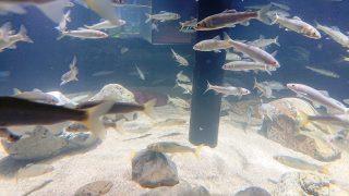 多摩川ゾーンの水槽|カワスイ(川崎水族館)