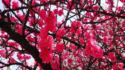 赤い桜|南河原公園