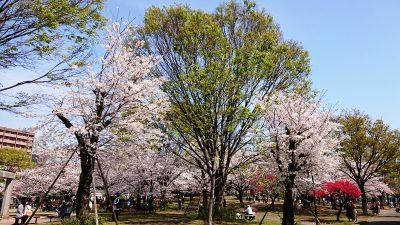 公園の桜|南河原公園