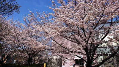満開の桜|さいわいふるさと公園