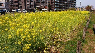 菜の花|さいわいふるさと公園