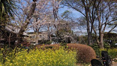 菜の花と桜|夢見ケ崎動物公園