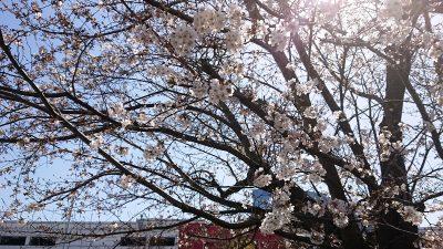 桜の風景|ラゾーナ川崎の温泉通り側・その2