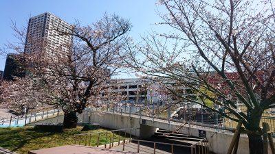 桜の風景|ラゾーナ川崎の温泉通り側・その1