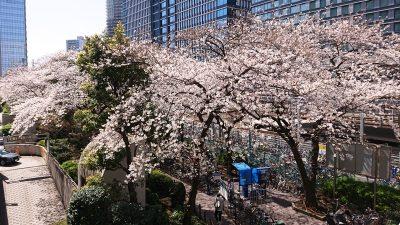 桜の風景|ルフロン公園・その1