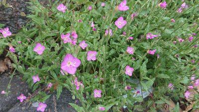 紫の花|かわさき多摩川ふれあいロード